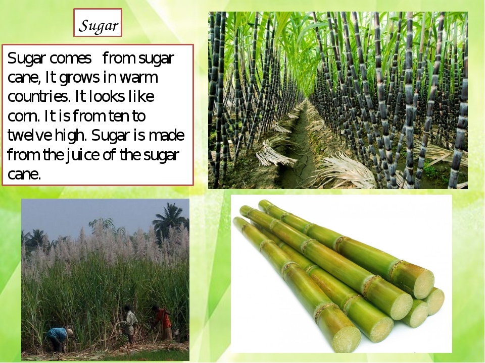 Sugar comes	from sugar cane, It grows in warm countries. It looks like corn....