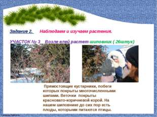 Задание 2. Наблюдаем и изучаем растения. УЧАСТОК № 3 Возле елей растет шиповн