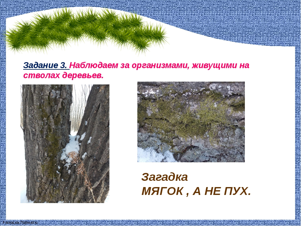 Задание 3. Наблюдаем за организмами, живущими на стволах деревьев. Загадка МЯ...