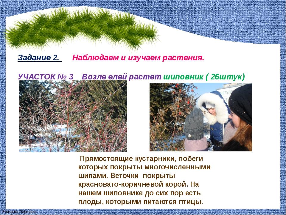Задание 2. Наблюдаем и изучаем растения. УЧАСТОК № 3 Возле елей растет шиповн...