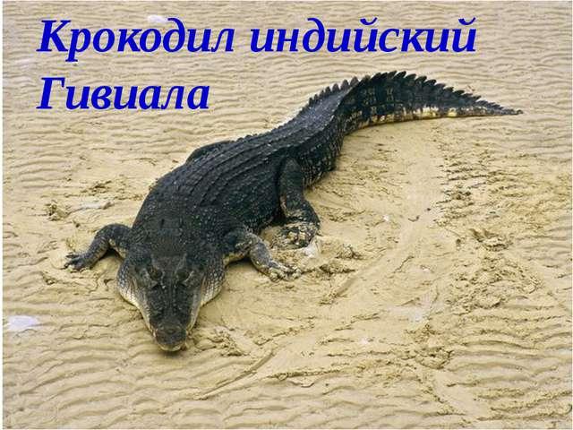 Крокодил индийский Гивиала