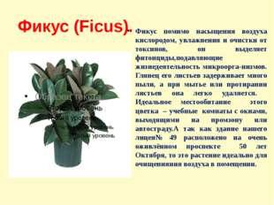 Фикус (Ficus). Фикус помимо насыщения воздуха кислородом, увлажнения и очистк