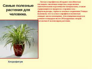 Самые полезные растения для человека. Листья хлорофитума обладают способность