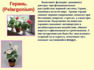 Герань. (Pelargonium) Выполняет функцию «домашнего доктора» при функциональны