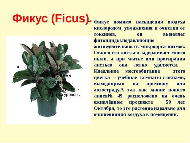 Фикус (Ficus). Фикус помимо насыщения воздуха кислородом, увлажнения и очистк...
