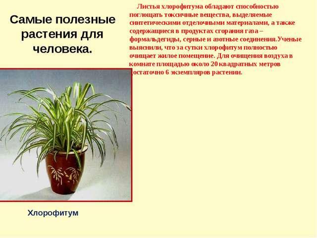 Самые полезные растения для человека. Листья хлорофитума обладают способность...