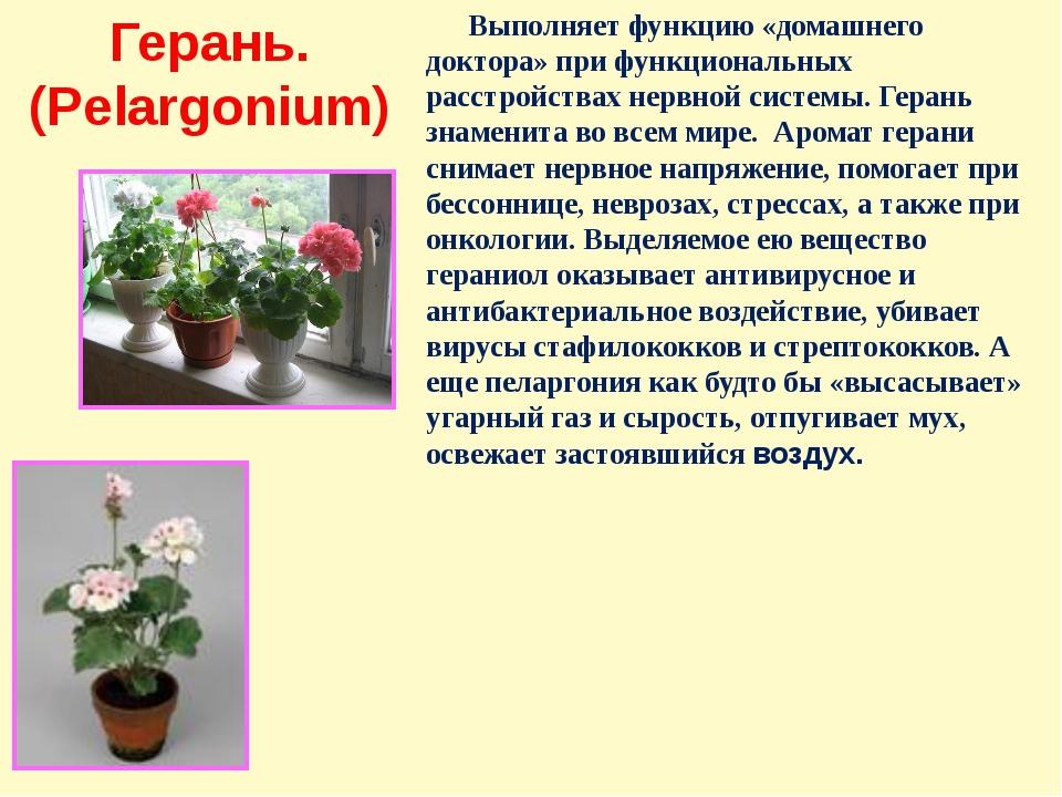 Герань. (Pelargonium) Выполняет функцию «домашнего доктора» при функциональны...