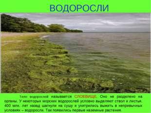 ВОДОРОСЛИ Тело водорослей называется СЛОЕВИЩЕ. Оно не разделено на органы. У