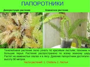 ПАПОРОТНИКИ Тенелюбивое растение легко узнать по красивым листьям, похожим н