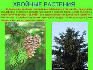 ХВОЙНЫЕ РАСТЕНИЯ В древесине хвойных растений вырабатывается смола, благодаря