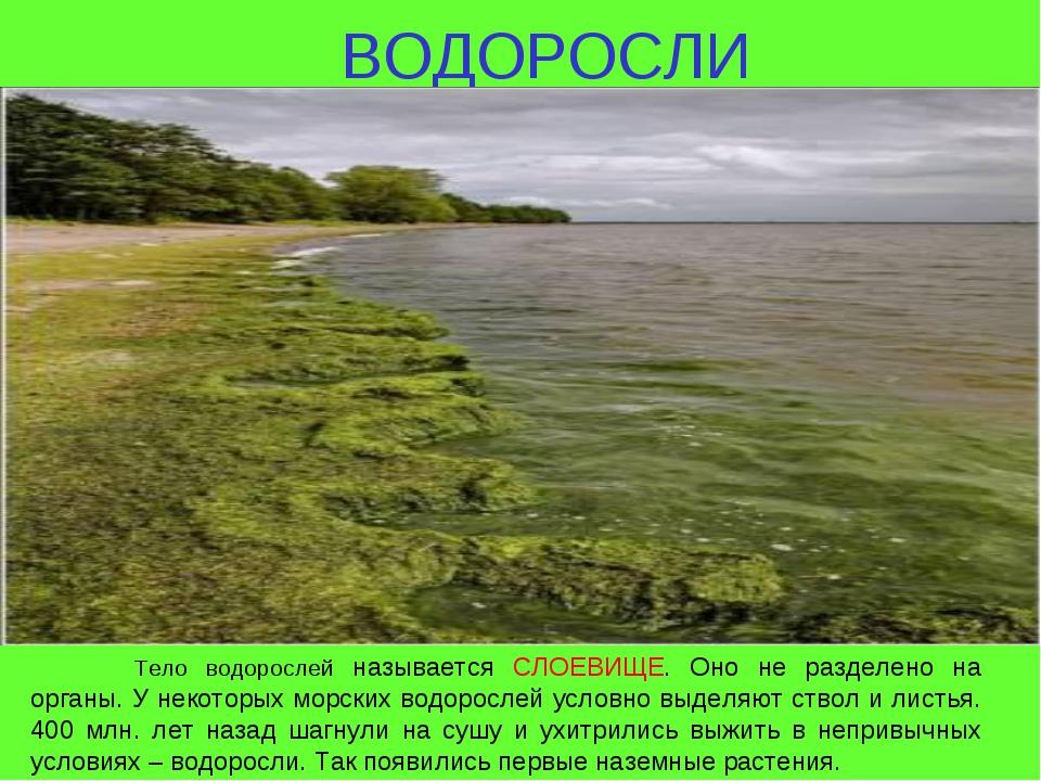 ВОДОРОСЛИ Тело водорослей называется СЛОЕВИЩЕ. Оно не разделено на органы. У...
