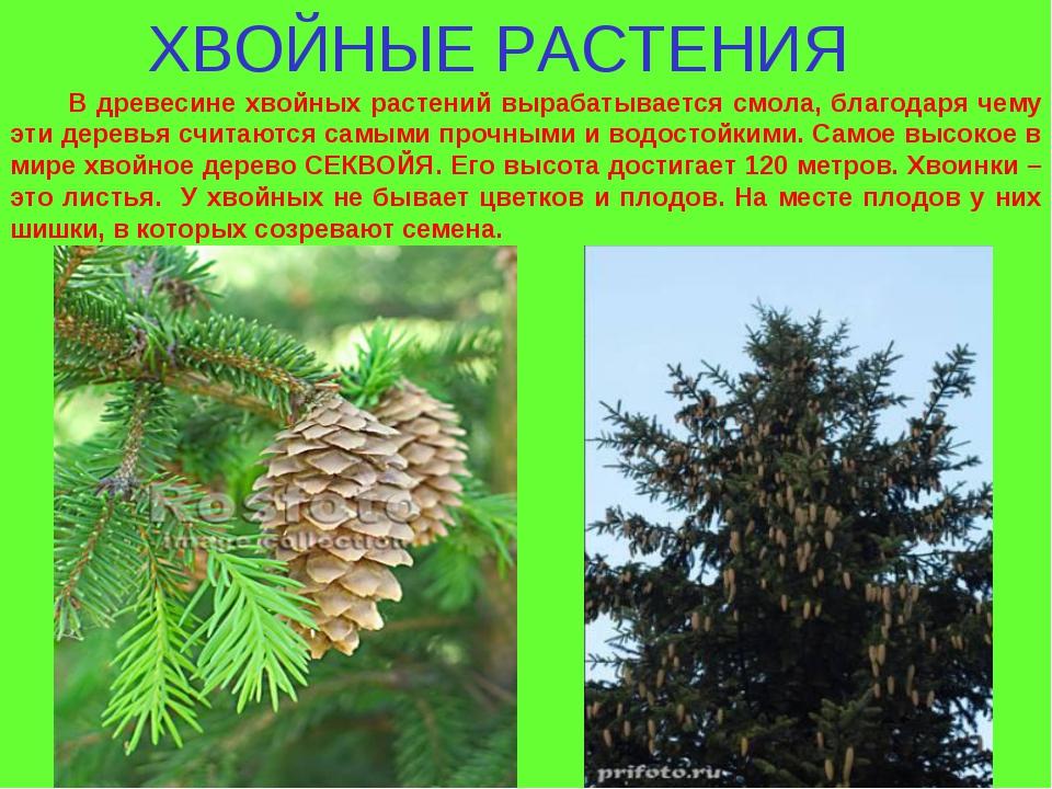 ХВОЙНЫЕ РАСТЕНИЯ В древесине хвойных растений вырабатывается смола, благодаря...