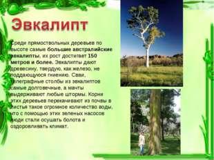 Среди прямоствольных деревьев по высоте самые большие австралийские эвкалипты
