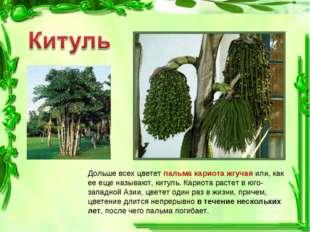 Дольше всех цветет пальма кариота жгучая или, как ее еще называют, китуль. Ка