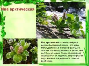 Ива арктическая - самое северное дерево (кустарник) в мире, его ветки могут д