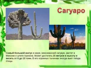 Самый большой кактус в мире, мексиканский сагуаро, растет в Мексике и штате А