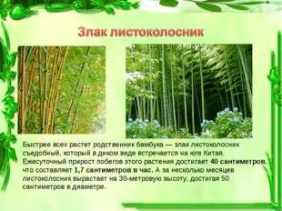 Быстрее всех растет родственник бамбука — злак листоколосник съедобный, котор