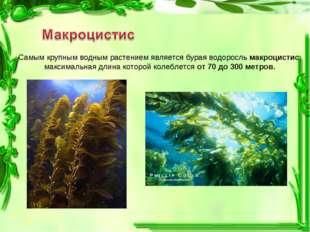 Самым крупным водным растением является бурая водоросль макроцистис, максимал