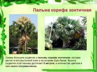 Самые большие соцветия у пальмы корифа зонтичная, которая растет в юго-восточ