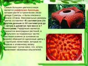 Самым большим цветком в мире является раффлезия Арнольда, которая растет в тр
