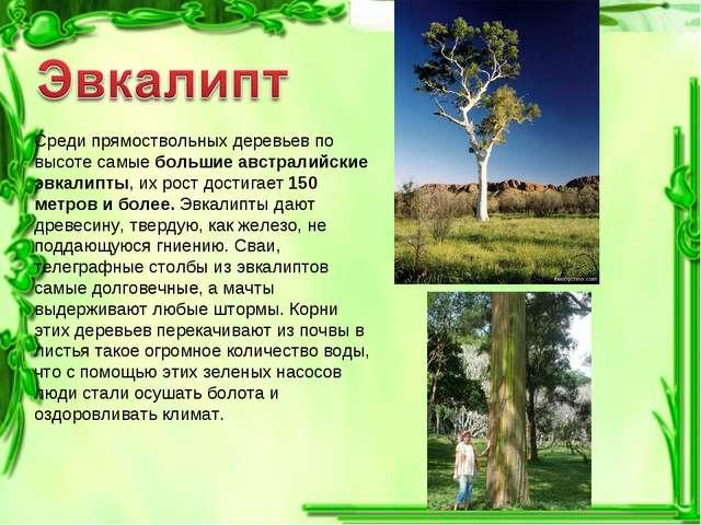 Среди прямоствольных деревьев по высоте самые большие австралийские эвкалипты...