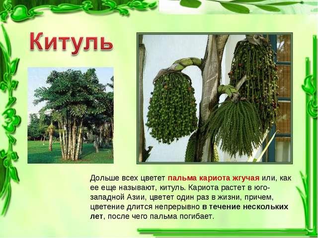 Дольше всех цветет пальма кариота жгучая или, как ее еще называют, китуль. Ка...