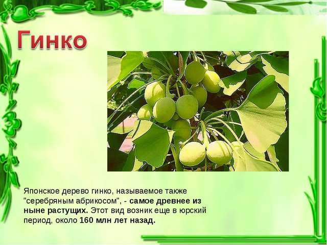 """Японское дерево гинко, называемое также """"серебряным абрикосом"""", - самое древн..."""