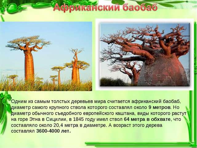 Одним из самым толстых деревьев мира считается африканский баобаб, диаметр са...