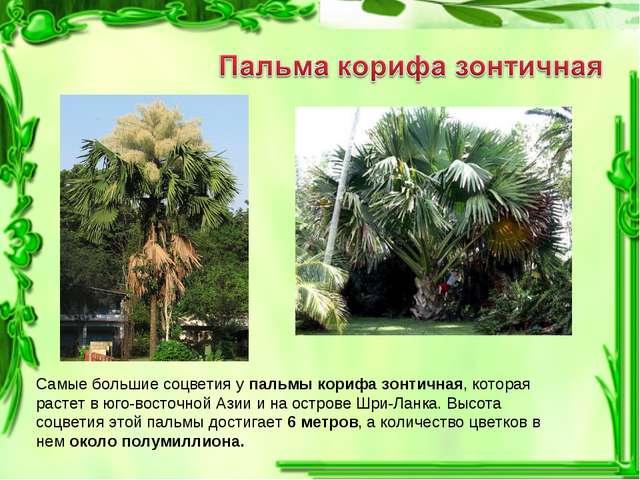 Самые большие соцветия у пальмы корифа зонтичная, которая растет в юго-восточ...