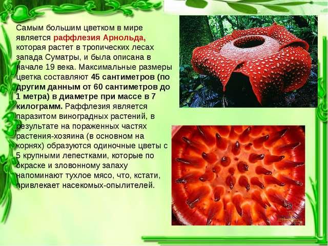 Самым большим цветком в мире является раффлезия Арнольда, которая растет в тр...