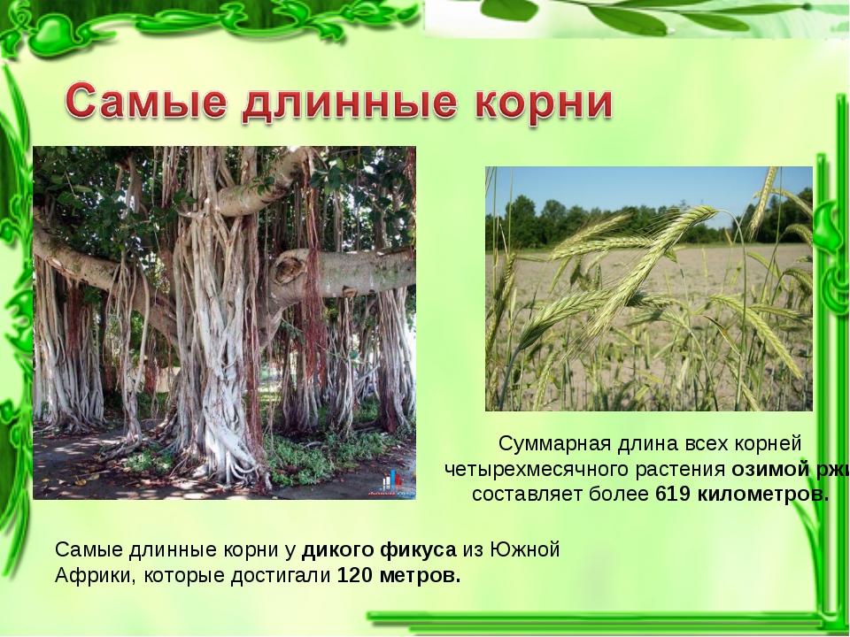 Самые длинные корни у дикого фикуса из Южной Африки, которые достигали 120 ме...
