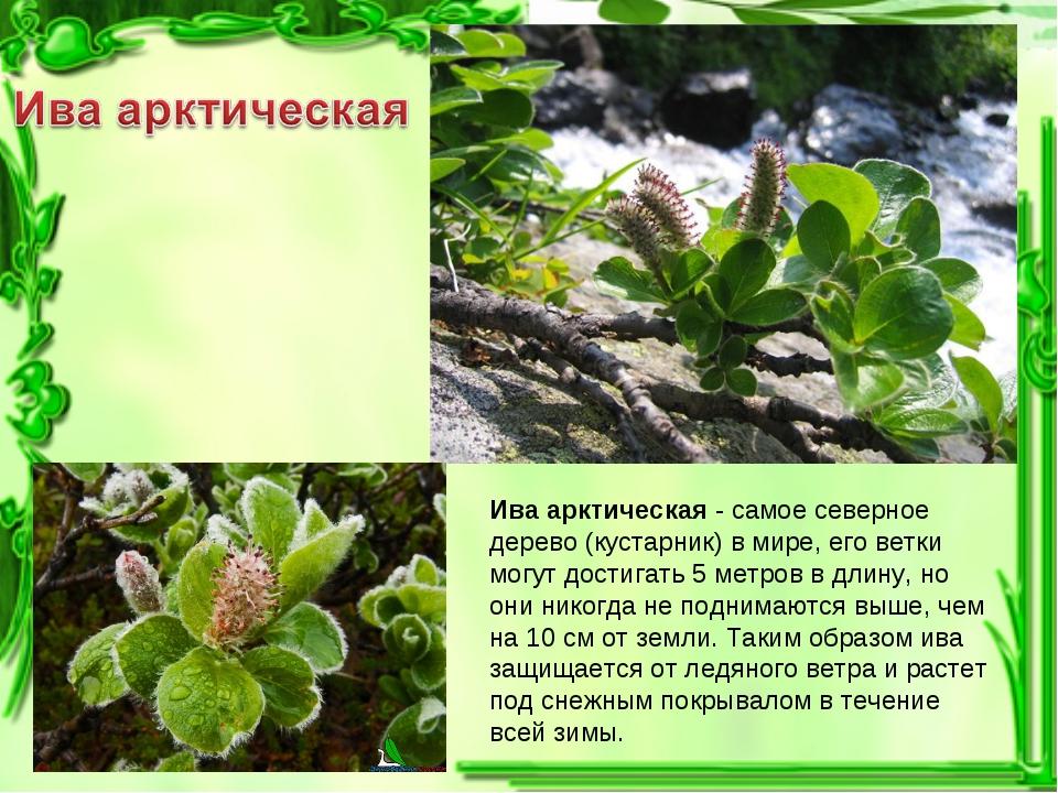 Ива арктическая - самое северное дерево (кустарник) в мире, его ветки могут д...