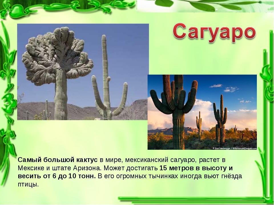 Самый большой кактус в мире, мексиканский сагуаро, растет в Мексике и штате А...