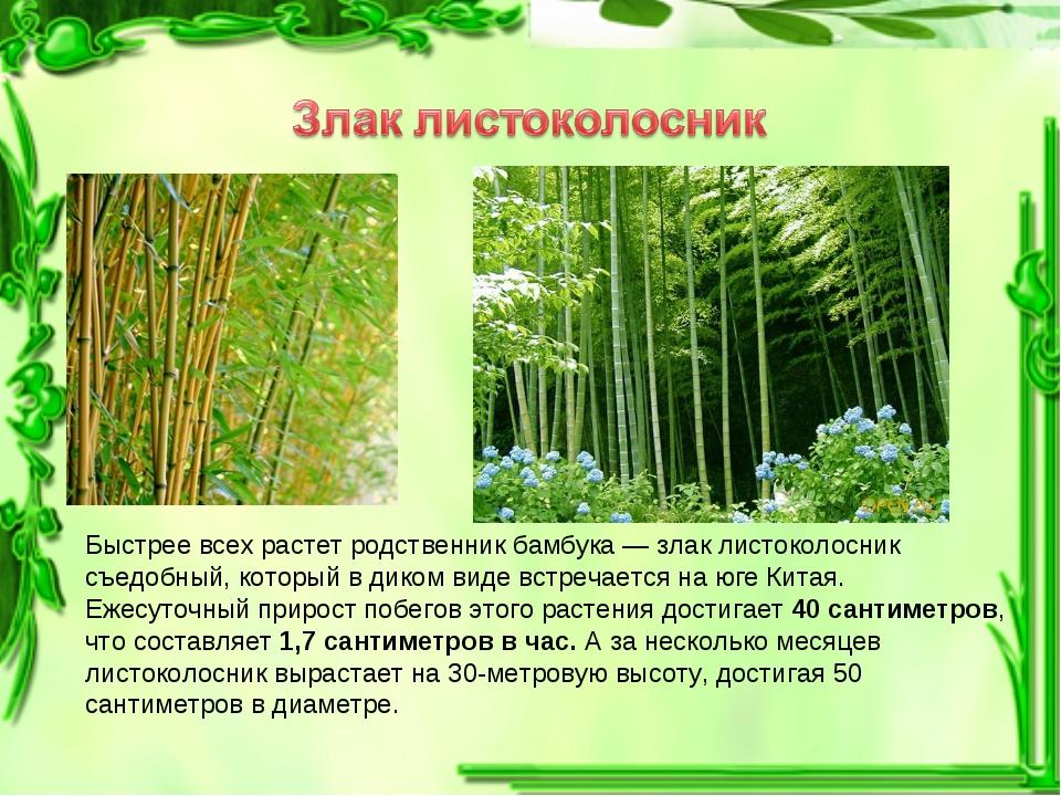 Быстрее всех растет родственник бамбука — злак листоколосник съедобный, котор...