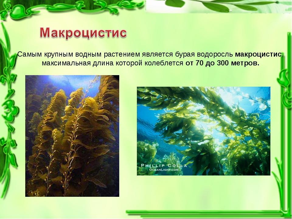 Самым крупным водным растением является бурая водоросль макроцистис, максимал...