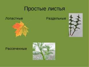 Простые листья Лопастные Рассеченные Раздельные