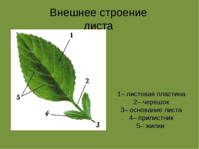 Презентация на тему Внешнее и внутреннее строение листа  Внешнее строение листа 1 листовая пластина 2 черешок 3 основание листа 4