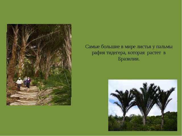 Самые большие в мире листья у пальмы рафия тидегера, которая растет в Бразилии.