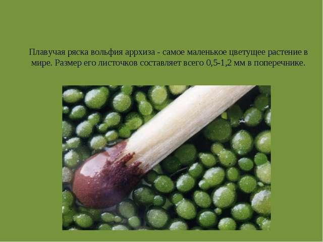 Плавучая ряска вольфия аррхиза - самое маленькое цветущее растение в мире. Ра...