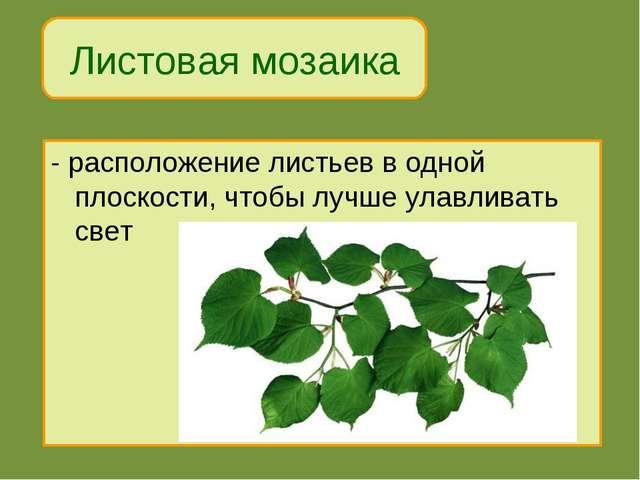 Листовая мозаика - расположение листьев в одной плоскости, чтобы лучше улавли...