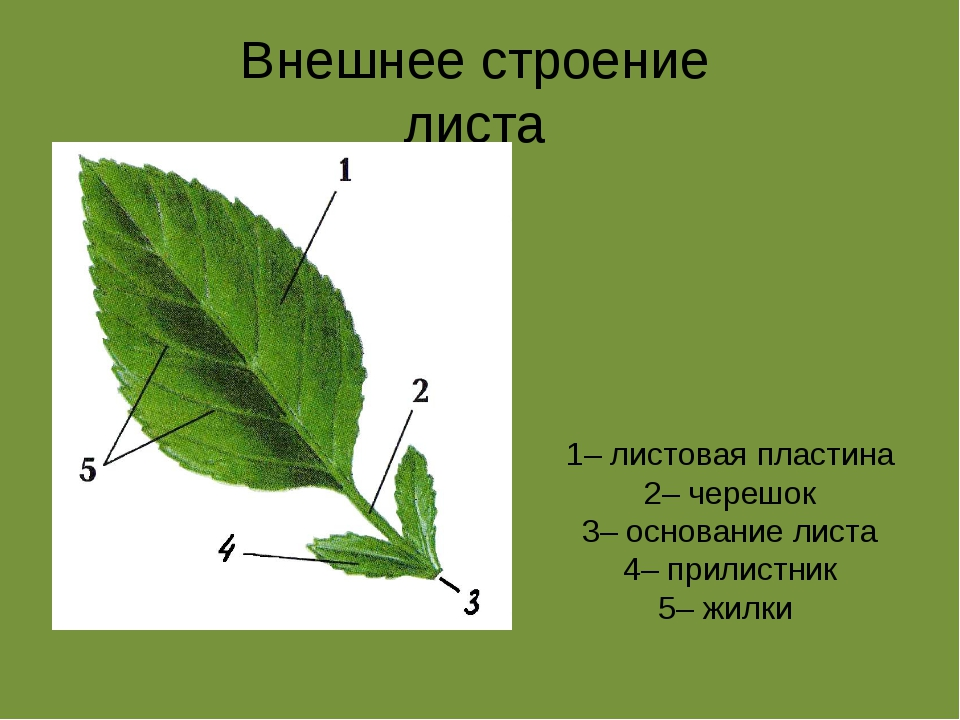 Внешнее строение листа 1– листовая пластина 2– черешок 3– основание листа 4–...