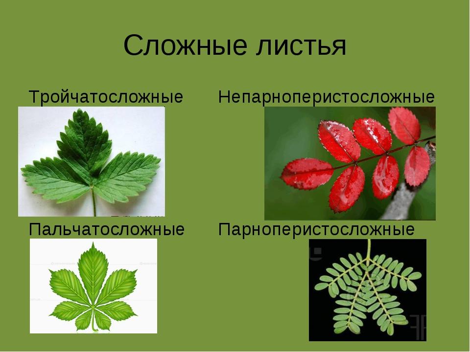 Сложные листья Тройчатосложные Пальчатосложные Непарноперистосложные Парнопер...