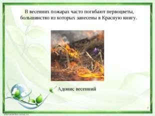 * В весенних пожарах часто погибают первоцветы, большинство из которых занесе