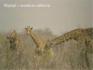 Жираф – житель саванны