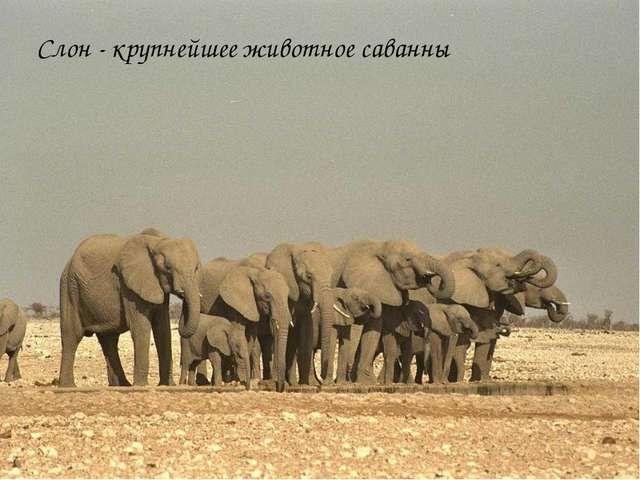 Слон - крупнейшее животное саванны
