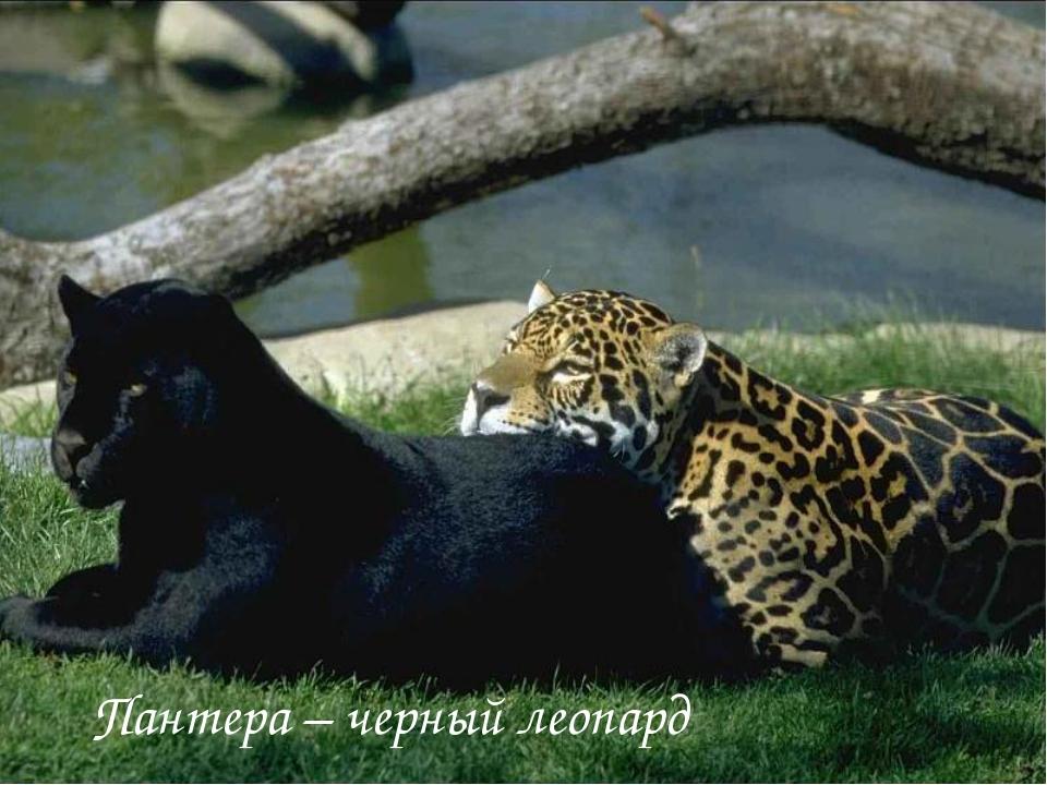 Пантера – черный леопард