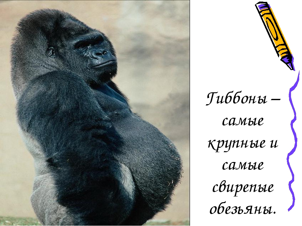 Гиббоны – самые крупные и самые свирепые обезьяны.