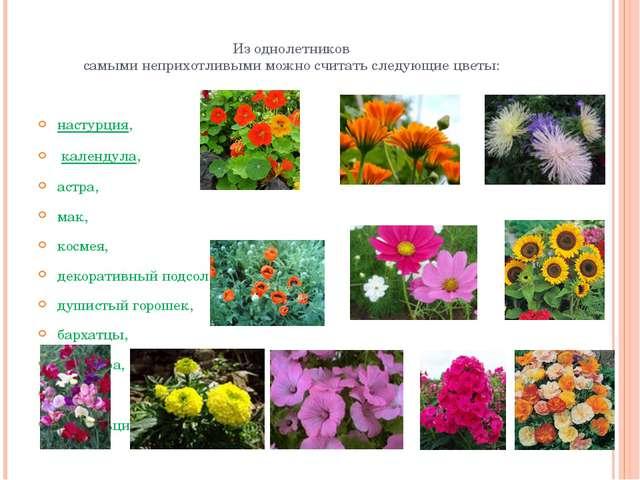 Из однолетников самыми неприхотливыми можно считать следующие цветы: настурци...