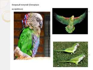 Bеерный попугай (Deroptyus accipitrinus) Амазонский попугай (Androglossa) Кли