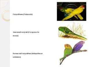 Попугайчики (Palaeornis) Земляной попугай (Pezoporus for mosus) Волнистый по